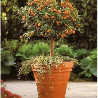 дерево кумквата
